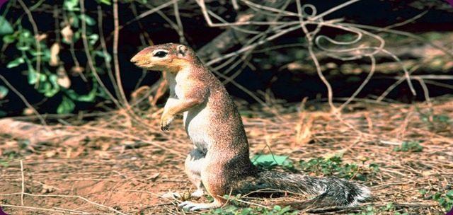 Xenial Xerus l'elegante e piccolo scoiattolo di Ubuntu.
